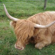 Highland Cow, Great Glen Way