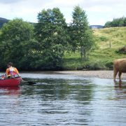 Highland Cow, River Spey Descent