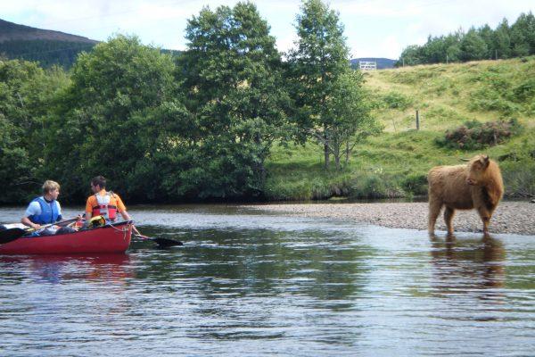 Highland Coo!, River Spey Descent